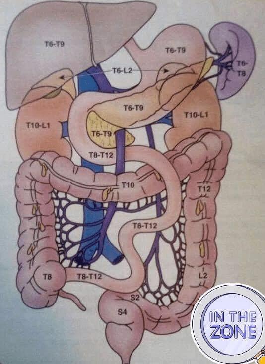 Image illustrant l'innervation ortho-sympathique des viscères